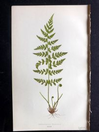 Lowe 1869 Antique Fern Print. Cystopteris Fragilis 63
